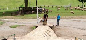 シープドッグショーの羊毛刈り