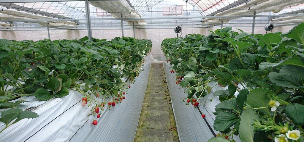 須田いちご園の高設栽培