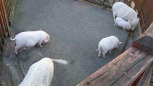 とんとん広場の福豚