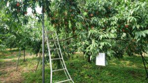 桃の木とハシゴ